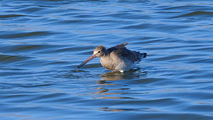 Black tailed godwit (Limosa limosa) feeding in shallow water, Suffolk, England, UK, October. - Dave Bevan