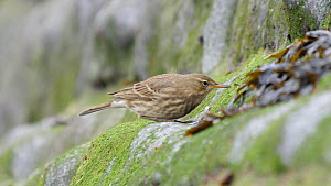 Rock pipit (Anthus petrosus) feeding from rocks, Ceredigion, Wales, UK, October.  -  Dave Bevan