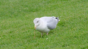 Herring gull (Larus argentatus) hunting for worms, stamping on ground with feet, Ceredigion, Wales, UK, November. - Dave Bevan