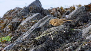 Rock pipit (Anthus petrosus) foraging amongst seaweed on rocky shore, Ceredigion, Wales, UK, November.  -  Dave Bevan