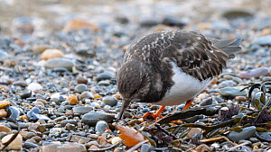 Close-up of a Turnstone (Arenaria interpres) foraging on the tide line of a shingle beach, Ceredigion, Wales, UK, November. - Dave Bevan