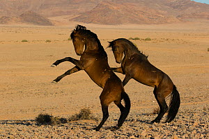 Feral Horse (Equus caballus) fight between stallions during mating season.  Namib-Naukluft National Park, Namibia.  -  Cyril Ruoso