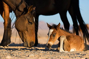 Feral Horse (Equus caballus) mare and foal few days old.   Namib-Naukluft National Park, Namibia  -  Cyril Ruoso