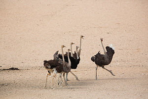 Ostrich (Struthio camelus) group, Namib-Naukluft National Park, Namibia.  -  Cyril Ruoso
