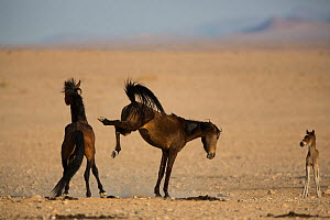 Feral Horse (Equus caballus) mare kicking out at stallion with foal nearby, Namib-Naukluft NP, Namibia.  -  Cyril Ruoso