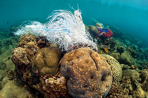Coral reef covered with discarded plastic bags. Ambon Bay, Ambon, Maluku Archipelago, Indonesia. Banda Sea, tropical west Pacific Ocean.  -  Alex Mustard