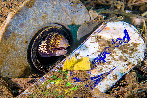 Snowflake moray eel (Echidna nebulosa) home amongst garbage on the seafloor, including a plastic toothpaste tube. Ambon Bay, Ambon, Maluku Archipelago, Indonesia. Banda Sea, tropical west Pacific Ocea... - Alex Mustard