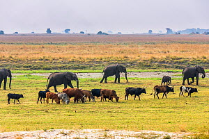 Herd of African Elephants (Loxodonta africana) grazing with cattle,  Chobe National Park in Botswana.  -  Christophe Courteau