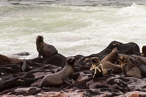 Brown fur seal (Arctocephalus pusillus) with ring of plastic caught round its neck, Namibia.  -  Emanuele Biggi