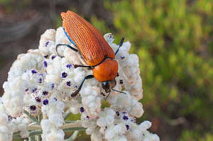 Giant jewel beetle (Julodimorpha saundersii) male feeding on Lambswool (Lachnostachys eriobotrya) flowers, Western Australian endemic species.  -  Jiri Lochman