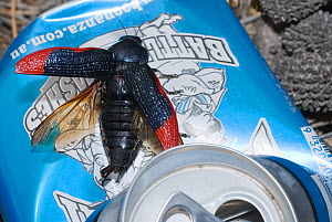 Jewel beetle (Temognatha ducalis)  attempting to mate with a sexually attractive blue-coloured object, a discarded soft drink can. Western Australian endemic species. - Jiri Lochman