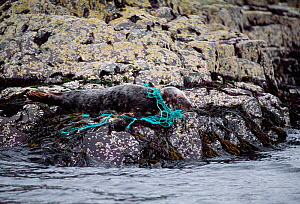 Grey Seal (Halichoerus grypus) hauled out on rock entangled in plastic fishing netting, Farne Islands, Northumberland, July 1997  -  Laurie  Campbell