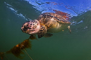 Green sea turtle (Chelonia mydas) entangled and drowned in the Brazos Santiago ship channel, Isla Blanca Park, South Padre Island, Texas, USA, May.  -  Seth Patterson
