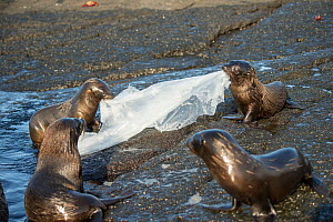 Galapagos fur seal (Arctocephalus galapagoensis) pups playing with plastic sheeting, Galapagos.  -  Tui De Roy