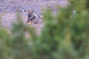Wild Apennine wolf (Canis lupus italicus) adult gnawing at horse hoof in winter.Central Apennines, Abruzzo, Italy. January.  Italian endemic subspecies.  -  Bruno D'Amicis