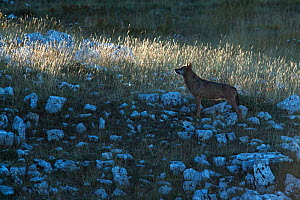 Wild Apennine wolf (Canis lupus italicus) adult on a mountain meadow in first morning light. Central Apennines, Abruzzo, Italy. September. Italian endemic subspecies. - Bruno D'Amicis