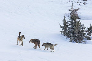 Wild Apennine wolf (Canis lupus italicus), two resident wolves attack intruder in their territory.  Central Apennines, Abruzzo, Italy. March. Italian endemic subspecies. Sequence 12 of 16  -  Bruno D'Amicis