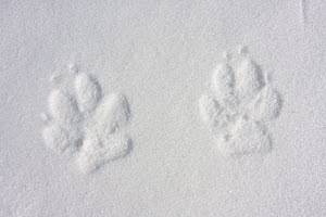 Wild Apennine wolf (Canis lupus italicus) tracks in frozen snow. Central Apennines, Abruzzo, Italy. March.  -  Bruno D'Amicis