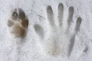Wild Apennine wolf (Canis lupus italicus) rear paw track next to human hand print in snow. Central Apennines, Abruzzo, Italy. March. - Bruno D'Amicis