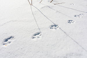 Wild Apennine wolf (Canis lupus italicus) tracks in snow. Central Apennines, Abruzzo, Italy. February.  -  Bruno D'Amicis
