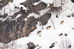 Wild Apennine wolf (Canis lupus italicus) adults moving on snowy mountain slope. Italian endemic subspecies. Central Apennines, Abruzzo, Italy. February.. - Bruno D'Amicis
