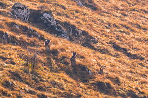 Wild Apennine wolves (Canis lupus italicus) resting among dry grass on a mountain slope in autumn. Central Apennines, Abruzzo, Italy. November. Italy endemic subspecies. - Bruno D'Amicis