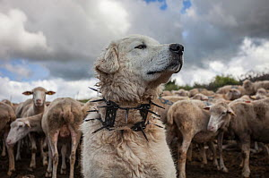 "Maremma Sheepdog  wearing traditional anti-wolf spiked collar, locally known as ""vreccale"". Gran Sasso National Park, Abruzzo, Italy, June.  -  Bruno D'Amicis"