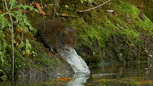Water vole (Arvicola amphibius) feeding on plastic, West Sussex, England, UK.  -  Mick Jenner