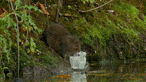 Water vole (Arvicola amphibius) eating plastic waste , West Sussex, England, UK. - Mick Jenner