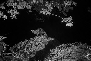 Genet (Genetta genetta) at night, infra-red image. France. June. - Eric  Medard