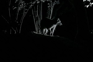 Racoon (Procyon lotor) male at night, infra red  image, France. Introduced species. - Eric  Medard