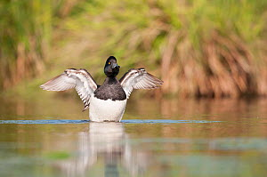 Male Tufted duck (Athya fuligula) stretching wings, Mayenne, France, March.  -  Eric  Medard