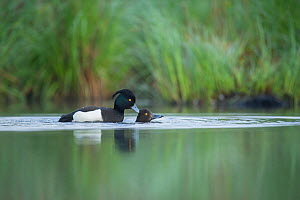 Pair of Tufted ducks (Athya fuligula) mating on a lake, Mayenne, France, March.  -  Eric  Medard