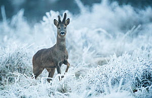 Male Roe deer (Capreolus capreolus) alert in frosty vegetation, France, December. - Eric  Medard