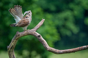 Female Kestrel (Falco tunninculus) shaking feathers to remove dust and parasites, France, June.  -  Eric  Medard