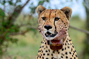 Cheetah (Acinonyx jubatus) female wearing  radio tracking collar, Kenya.  -  Enrique Lopez-Tapia