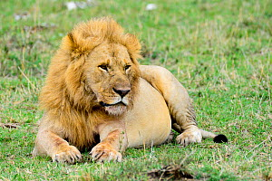Lion (Panthera leo) resting, with a full stomach, after eating a wildebeest. Kenya.  -  Enrique Lopez-Tapia