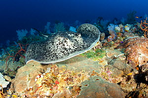 Marbled stingray (Taeniura meyeni) North Point dive site, Sanganeb reef, Sudan, Red Sea - Franco  Banfi