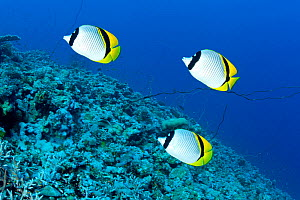 Lined butterflyfish (Chaetodon lineolatus) North Point dive site, Sanganeb reef, Sudan, Red Sea - Franco  Banfi