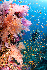 Scuba diver and soft coral (Dendronephthya sp.) South Point dive site, Sanganeb reef, Sudan, Red Sea  -  Franco  Banfi