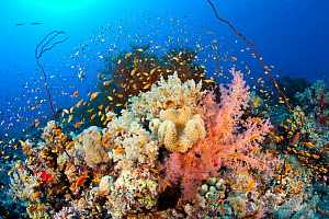 Reef covered with soft coral,( Dendronephthya sp) and Black coral, (Antipathes sp) with shoal of Jewel fairy basslet (Pseudanthias squamipinnis) South Point dive site, Sanganeb reef, Sudan, Red Sea  -  Franco  Banfi