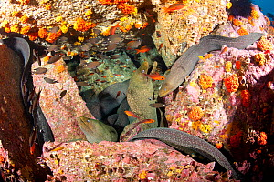 Fine spotted moray eel (Gymnothorax dovii) together in a den, Malpelo Island  National Park, UNESCO World Heritage Site, Colombia, East Pacific Ocean  -  Franco  Banfi