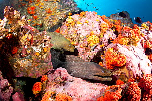 Fine spotted moray eels (Gymnothorax dovi) together in  den, Malpelo Island  National Park, UNESCO World Heritage Site, Colombia, East Pacific Ocean  -  Franco  Banfi