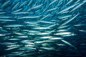Shoal of barracuda (Sphyraena idiastes) Malpelo Island  National Park, UNESCO World Heritage Site, Colombia, East Pacific Ocean  -  Franco  Banfi