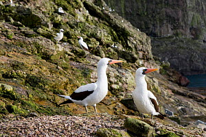 Couple of Masked booby (Sula dactylatra) Malpelo Island  National Park, UNESCO World Heritage Site, Colombia, East Pacific Ocean  -  Franco  Banfi