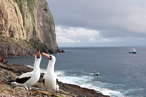 Couple of Masked booby (Sula dactylatra) and MV Sea Wolf liveaboard, Malpelo Island  National Park, UNESCO World Heritage Site, Colombia, East Pacific Ocean - Franco  Banfi