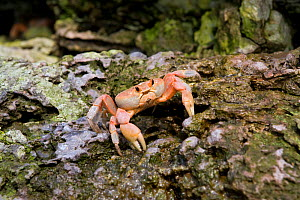 Land crab (Gecarcinus malpilensis) Malpelo Island  National Park, UNESCO World Heritage Site, Colombia, East Pacific Ocean - Franco  Banfi