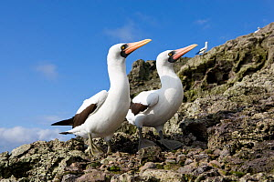Masked booby (Sula dactylatra) pair, Malpelo Island  National Park, UNESCO World Heritage Site, Colombia, East Pacific Ocean  -  Franco  Banfi