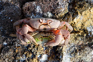 Land crab (Gecarcinus malpilensis) pair mating Malpelo Island  National Park, UNESCO World Heritage Site, Colombia, East Pacific Ocean - Franco  Banfi