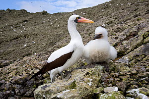 Masked booby (Sula dactylatra) with chick, Malpelo Island  National Park, UNESCO World Heritage Site, Colombia, East Pacific Ocean  -  Franco  Banfi